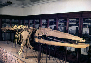 Le balene del mare pliocenico in Piemonte