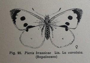 Pieris brassicae, in Mario Sturani, Vita delle farfalle, Francesco De Silva, Torino 1947, p. 121