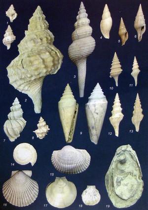 Selezione di fossili di molluschi marini tipici della Formazione delle Argille Azzurre. Fotografia di Piero Damarco, 2009, su gentile concessione dell'autore.