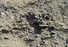 I fossili di mare poco profondo delle Sabbie di Asti