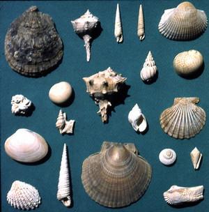 Selezione di fossili di molluschi marini tipici della parte inferiore della Formazione delle Sabbie di Asti. Archivio del Dipartimento di Scienze della Terra, Università di Torino.